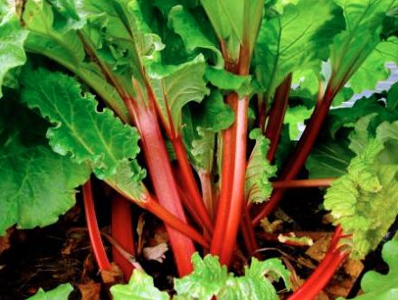 Organic Rhubarb Bunch Farm Fresh Organics